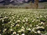 G00117-Wyethia-in-Boulder-Mtns